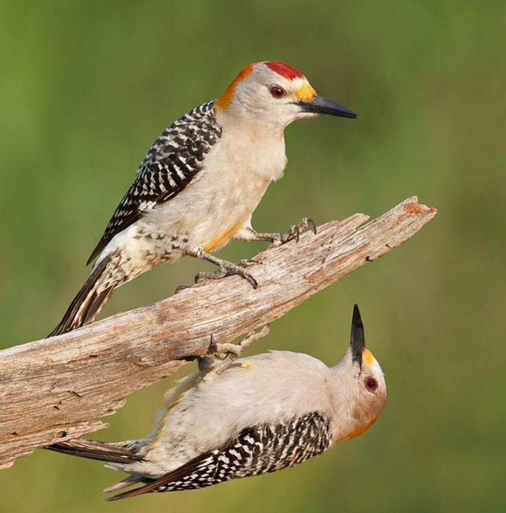Golden-Fronted Woodpeckers  photo by Arthur Morris