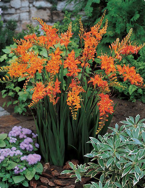 several varieties of these, hummingbirds love them Crocosmia (Montbretia). O love crocosmia!