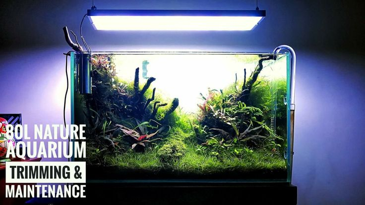 New vídeo - Maintenance and trimming of Filipe Oliviera's 80L planted tank. YouTube link: https://youtu.be/IwbTzodV6Nc #FAAO #Aquaflora #Aquascaping #planted #aquarium #aquatic #plant #freshwater #plantedtank #aquascape #plantedaquarium #Ecoarium #Seachem #Twinstar #Dici #Chihiros #aquavitro #600SP