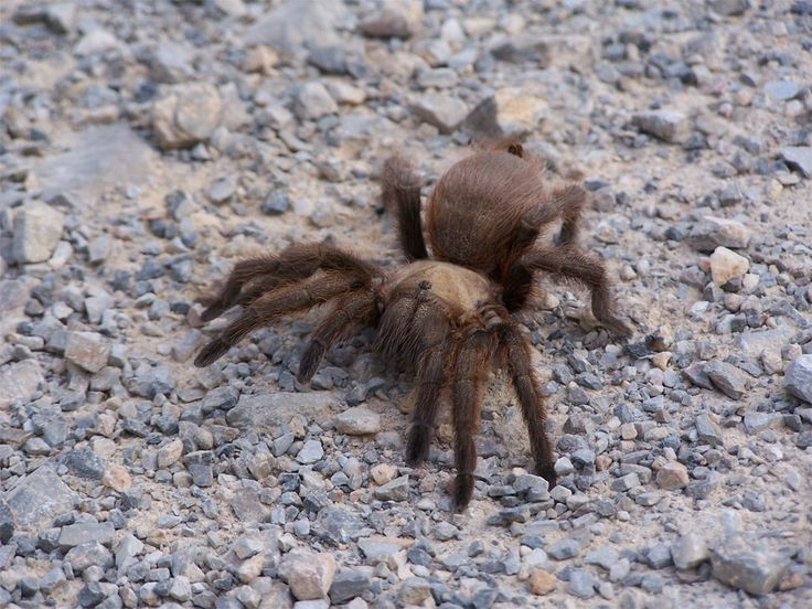Giant Tarantula spider (Aphonopelma chalcodes)         Tarantulas (as the term is used in North America) comprise a group of often hairy a...