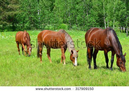 Horses grazing on meadow - stock photo