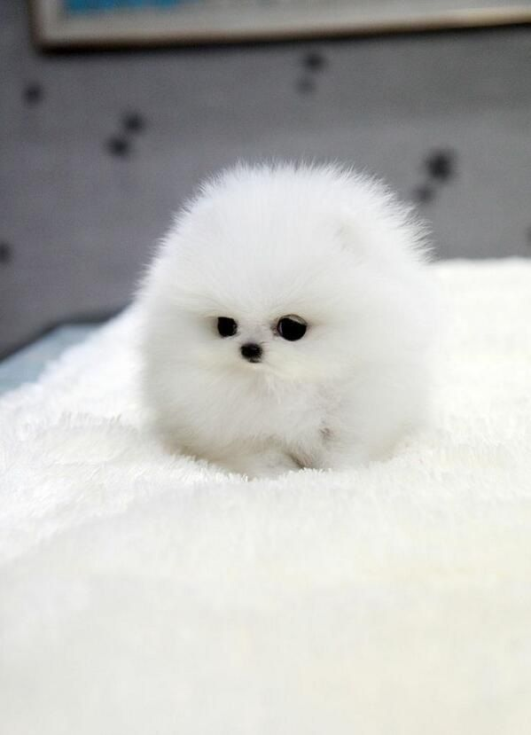 White Teacup Pomeranian Fluffykittens In 2020 Baby Animals
