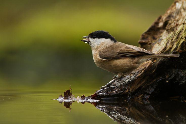 Mésange boréale (Poecile montanus) buvant dans une flaque d'eau