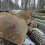 Po wycince drzew w miastach i komercyjnym odstrzale symbolu polskiej przyrody – żubra Minister Szyszko wyciąga ręce po dęby z Puszczy Białowieskiej – jej najbardziej rozpoznawalny (obok żubra) symbol.