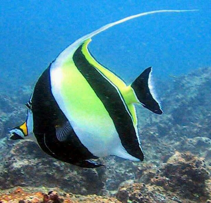Exotic moorish saltwater angel fish salty fishes for How to make saltwater for fish