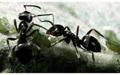 Black garden ants insect? | National Insect Week