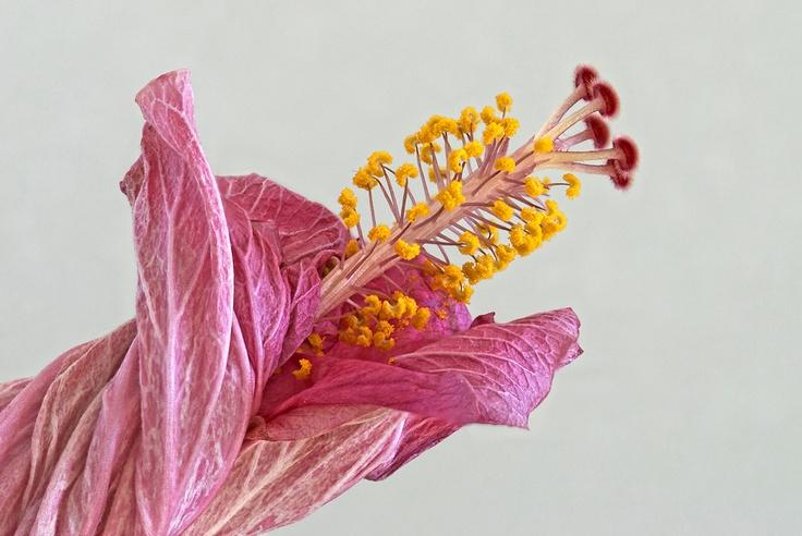 Hibiscus sinensis De Chinese roos (Hibiscus rosa-sinensis)