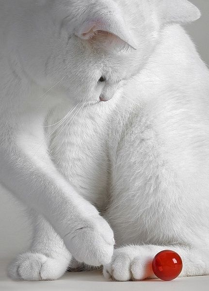 white cat by Janny Dangerous, via indulgy.com