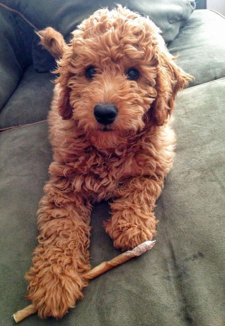 Samson the Goldendoodle. A cross between a Golden Retriever and a Poodle. Such gorgeous colouring.