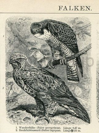 pictures of different types of antiques | Old Print of Different Types of Hawks by AntiquePrintsAndMaps