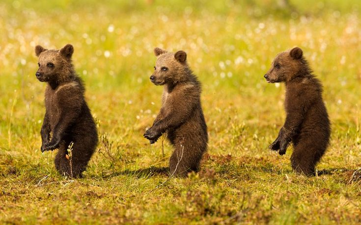 Three bear cubs seem to be auditioning for a musical about a girl group such as the Supremes, as they play together in a forest in Finland.    Picture: Julian Cox/Solent News and Photo Agency.