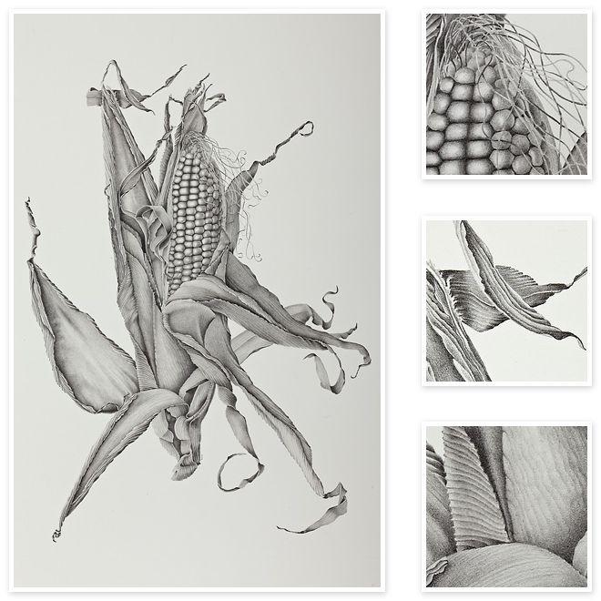 Zea mays sweet corn sharon field botanical artist inspiration for botanical