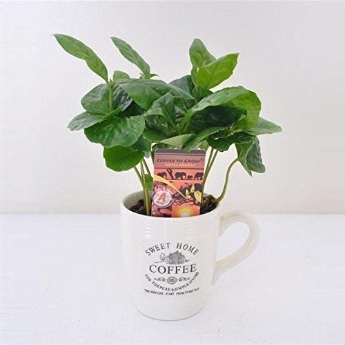 Yes, coffee also grows in the tropical rainforests. You just might have to thank the rainforest for the beverage that keeps you awake in the morning and the long work hours. Coffee has a life expectancy of one hundred years, eight years of that which is the plant growing into production.