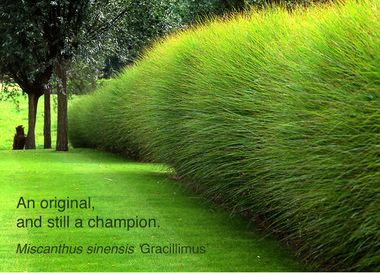 25 best ideas about miscanthus sinensis gracillimus on pinterest miscanthus gracillimus. Black Bedroom Furniture Sets. Home Design Ideas