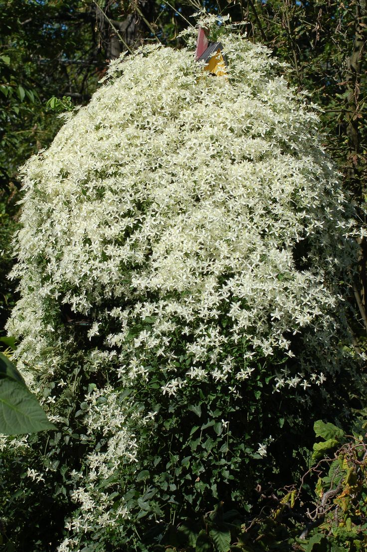 "This sweet autumn clematis vine scaled the post holding a birdhouse and almost completely overwhelmed said avian domicile. It's a sweet picture if you admire vigor in a vine, but sweet autumn clematis isn't so ""sweet"" when you find yourself pulling up seedlings for years to come:  http://landscaping.about.com/od/vineplants1/p/autumn_clematis.htm"