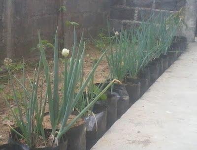 SECELENG: Tips Praktis Menanam Daun Bawang di Polybag