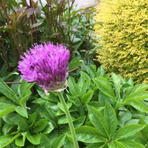Alliums are starting to burst into bloom across the gardens. We planted 200 Allium Sphaerocephalon around the pond last autumn - can't wait for them to show. #houghtonlodgeflowers #houghtonlodgegardens #hampshiregardens #allium