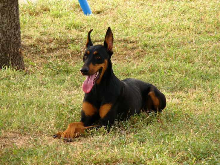 6. Doberman Pinscher  The Doberman pinscher could easily be described as the face of the stereotypical guard dog. Their sharp muzzle, slende...