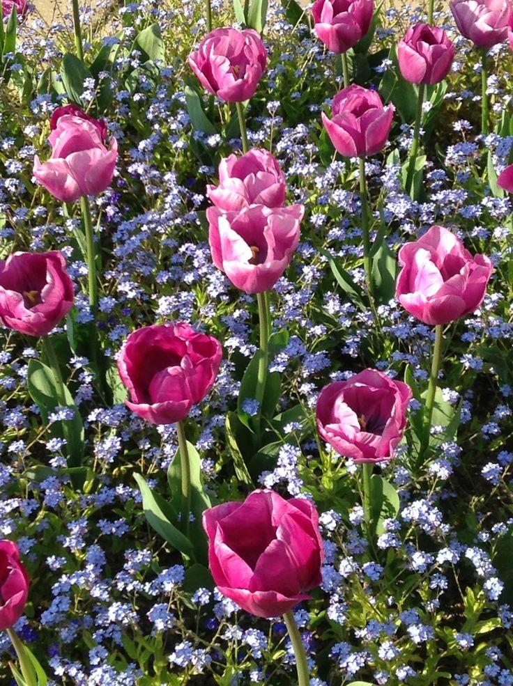 Tulip combination at Great Dixter Garden - Photo by Noemi Mercurelli