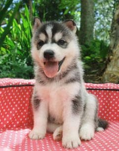 a mini husky I want one so bad