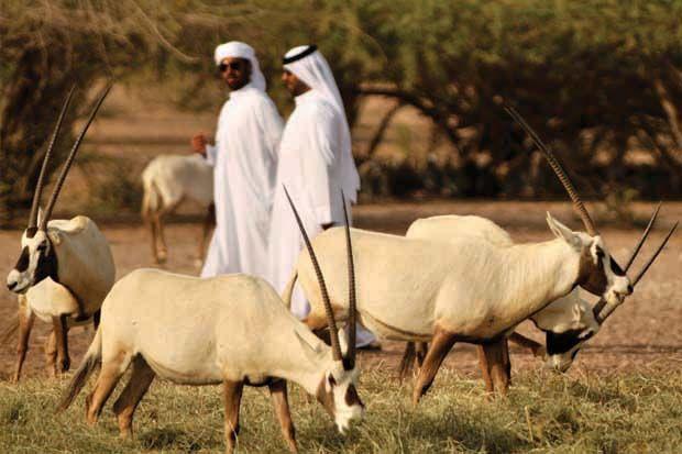 Wild Arabian Oryx on Sir Bani Yas Island, #AbuDhabi, #UAE