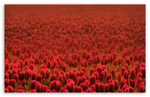 Red Tulip Field...: Wonder Flowers, Fields Flowers, Tulip Favorite Flowers, Tulipsfavorit Flowers, Red Tulip, Desktop Wallpapers, Scarlet Tulip, Tulip Fields I, Tulip Wallpapers
