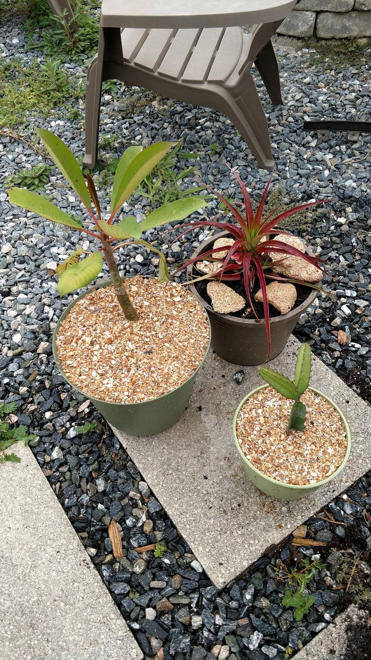 Dragon fruit comes in three colors white pink and red or magenta white - Plumeria Pineapple And Dragon Fruit Got Replanted Today Gardening Garden Gardens