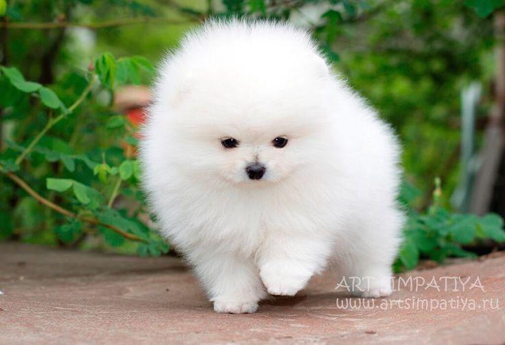 Щенок померанского шпица белого окраса.  Мальчик. ❗Boy white Pomeranian for sale❗️ O щенках померанского шпица, фото, видео,  стоимость узнавайте: +7 926 164 9404,Viber/What'sApp #pom #puppy #pomerania #pomeranian #whitepomeranian #whitezpitz #whitepom #blancodePomeranian #avalanle #puppyofinstagram #boo #dog #spitz #zvergshpitz #щенок #щенокшпица #щенокпомеранскогошпица #пом #померанец #продажашпица #померанскийшпиц #собака #минишпиц #бу #белыйшпиц #белыйпомеранец #шпиц #шпицбу #шпицмини…