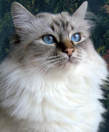 Il gatto delle foreste norvegesi è molto simile a una piccola lince..