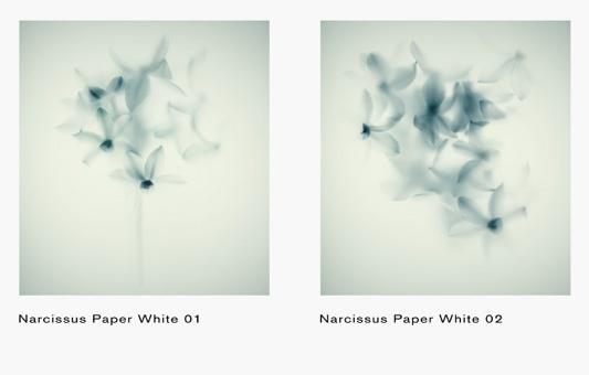 Narcissus White -  Massimo Gardone  - Jannelli & Volpi