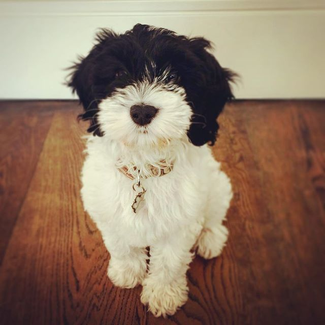 chrome hearts bracelet ebay buying auction buyers Bandit the Cockerpoo  cockerpoo  cockerpoopuppy  londondogs  wandsworth  wandsworthcommon  dogtraineronamission  puppylife  siblingspups  bandit