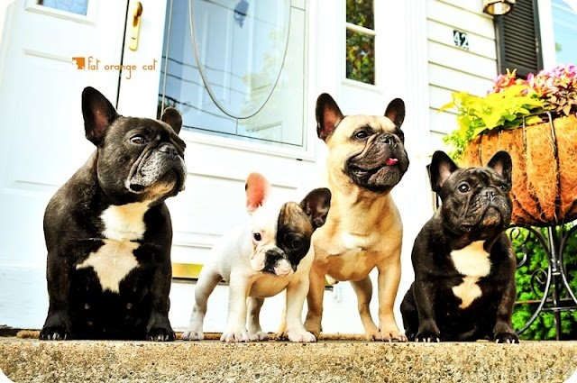 famDogs Fun, French Bulldogs, French Bullying, Frenchie Friends, Frenchie Families, Face Dogs, Animal Box, Cutest Animal, Adorable Animal