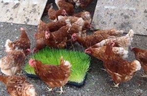 tavuklarda-taze-ot-makinasi-7