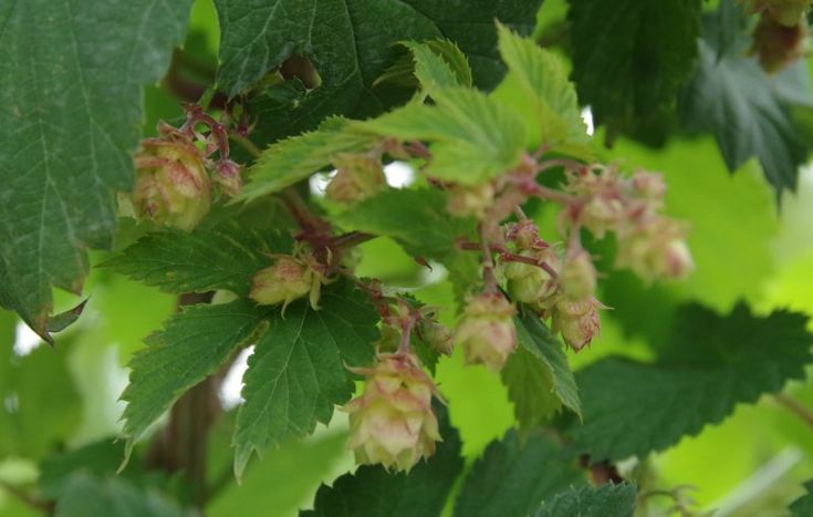the first miniature hops of this season