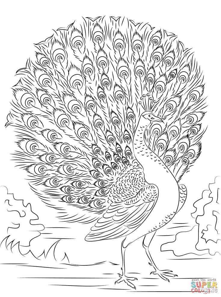 Peacock Coloring Pages Advanced Peacock coloring page