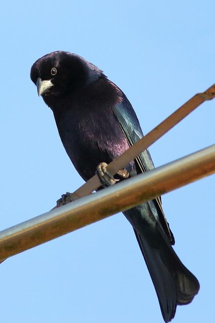 Shiny Cowbird / Tordo renegrido (Molothrus bonariensis)