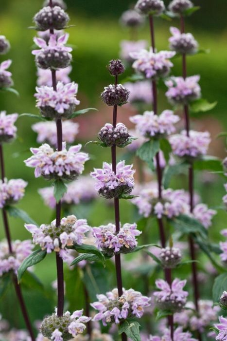 "Phlomis tuberosa Amazone | How dramatic! As tall dark strong upright stems hold many whorls of lilac pink flowers that stack up looking rather like a chandelier! Phlomis are best known for their handsome woolly dark green foliage and are excellent for cutting and drying. Drought tolerant. Prefers well-drained soil in full sun. Height 120cm (48""). Spread 90cm (36""). Hardy perennial."