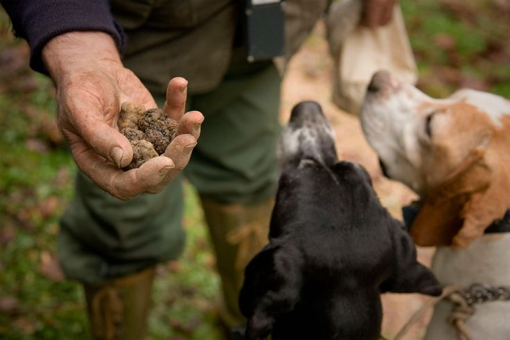Go truffle hunting with amazing trained dogs: they'll head you to the discovery of the delicious black truffle of Montefiesole! Book now your experience at Fattoria Lavacchio, only on Faberest.