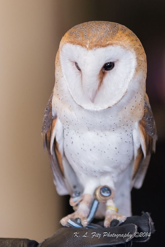 An introduction to the common barn owl