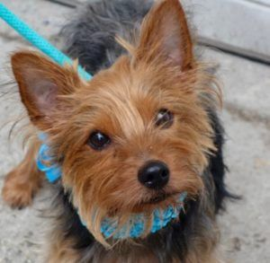 10/23/16 SUPER URGENT  CAN BE EUTHANIZED ANY DAY ADOPT SENIOR LILO – Yorkshire terriers live until 15 and she is only 9 - A0939224 *RETURNED 10/06/16 friendly, eager to get attention, easily allowed all handling NEUTERED MALE, BLACK / BROWN, YORKSHIRE TERR MIX, 9 yrs OWNER SURRENDER Reason NO TIME Intake Date 10/06/2016, past Due Out Date 10/13/2016.