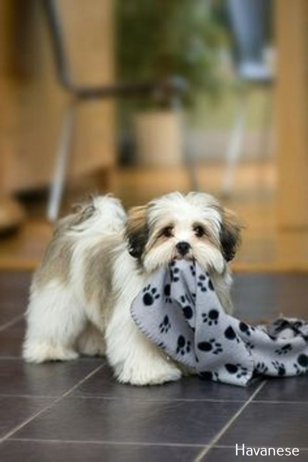 Havanese Intelligent And Funny Havanese Dogs Puppies Dogs