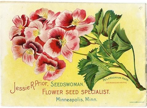 The back cover of Jessie R. Prior's 1902 catalog pictures a lovely geranium with the name of Anita.  Jessie R. Prior operated a flower seed business in Minneapolis during the early part of the 20th century.