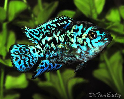 This electric blue Jack Dempsey fish is a beautiful color variation.      Scientific name: Rocio octofaciatus            #FLVS #blue