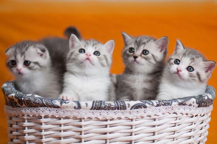 Шотланские вислоухие котята. Фотограф Юрий Сидоренко. https://photographerwedding.io.ua