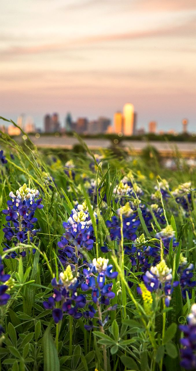 Dallas Bluebonnets Texas Photography Travel Usa Travel Photography