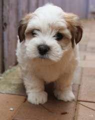 Maltese x Shih Tzu Puppies | Maltese puppies for sale Sydney New