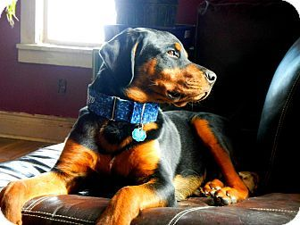 Caledon, ON - Rottweiler. Meet Bentley a Puppy for Adoption.