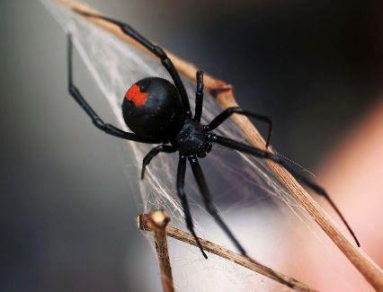 La Araña Espalda Roja se confunde a menudo con la Viuda Negra. Si bien no es tan mortal, es una araña de la cual es necesario cuidarse. Las más jóvenes tienen color blanco.