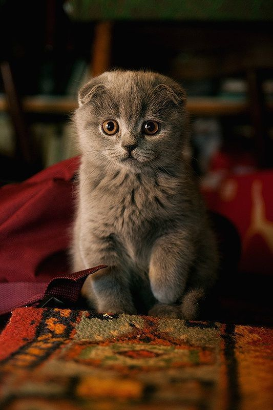 Scottish Fold // their round heads are just precious