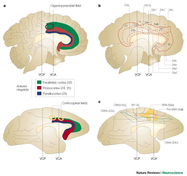 Primate anterior cingulate cortex: Where motor control, drive and cognition interface